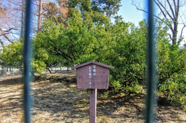 紀州から献上された鉢植えのミカンを本丸に移植したものらしい