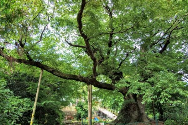 上州金山城の歴史を見守ってきた樹齢800年ほどの大木のうちの一本