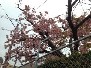 鈴が峰女子大の校庭に咲いていた桜
