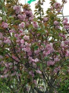 草津公園に咲いていた桜